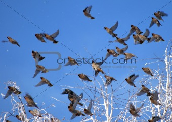 Flock of waxwings