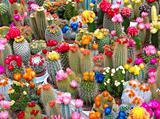 cactusses