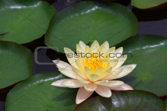 A pristine water lily flower in nature.