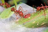 Ant eat a drop of a sweet from aphid