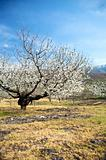 almond tree bloom