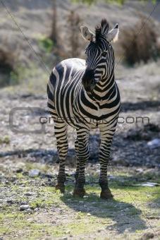 Beautiful african Zebra outdoor