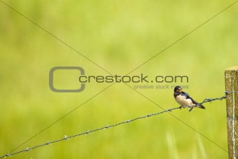 A Barn-swallow perched on a barbed wire fence