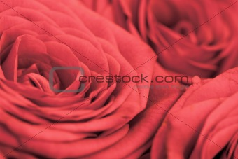 Background - flowers red roses