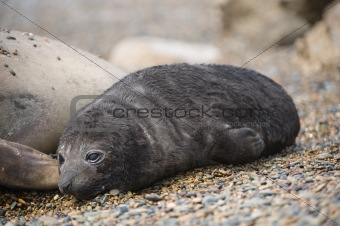 Baby elephant seal in patagonia.
