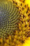 Sunflower seeds detail