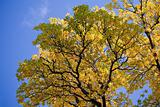 beautiful autumn tree against blue sky