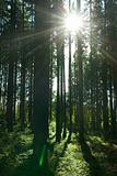 sunlight rays in a forrest in summer