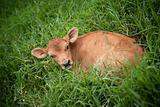 Calf in the grass in Costa Rica