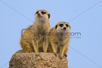 Two suricatas.