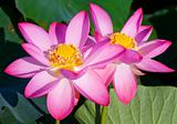 Beautiful flowers of a lotus