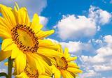 Three sunflowers on the skyline