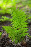 fern athyrium