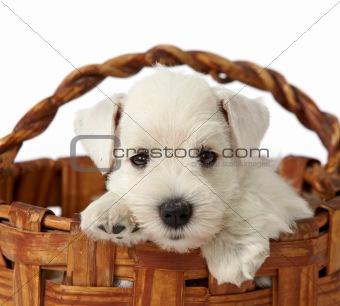 portrait of white puppy
