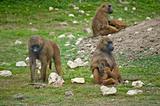 Baboon 5