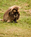 Gelada Baboon