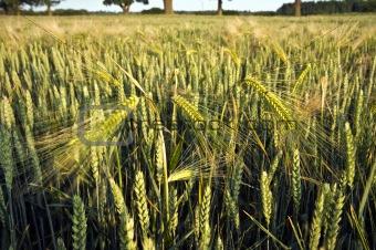 Close up of cornfield crop
