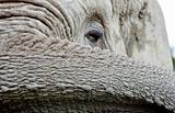 African Elephant 1
