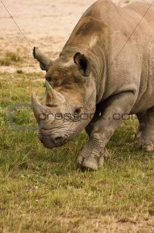 Black rhinoceros close up