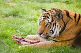 Amur Siberian Tiger eating