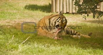 Amur Siberian Tiger eating