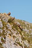 Vultures on the rocks