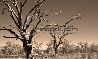 old dead trees