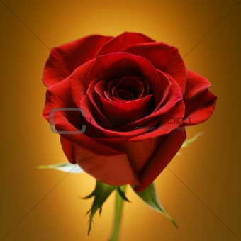 Red rose on gold.