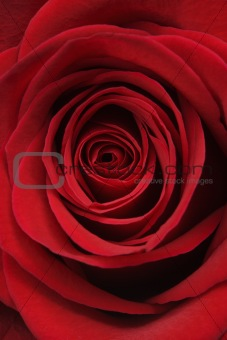 Cose-up of red rose.