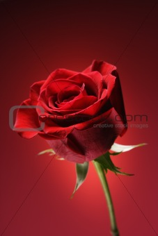 Red rose on red.