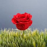 Red rose in grass.