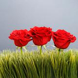 Red roses in grass.