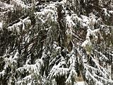 Snowy evergreen tree.