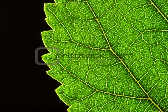 green leaf edge