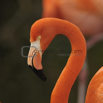 Flamingo, portrait.