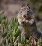 Squirrel eating ice plant