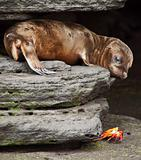 Baby Sea Lion Looking at Sally Lightfoot Crab