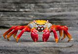 Sally Lightfoot Crab  on Rock