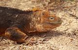 Close up of Galapagos Land Iguana
