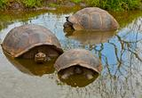 Three Galapagos Tortoises in Pond
