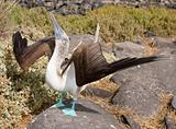 Blue Footed Booby Doing Mating Dance