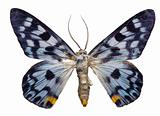 Dysphania transducta Butterfly