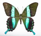 Majestic Green Swallowtail Butterfly