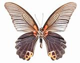 Great Morman Butterfly