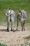 Pair of zebras facing different directions