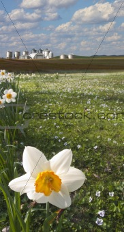Daffodil closeup and farm