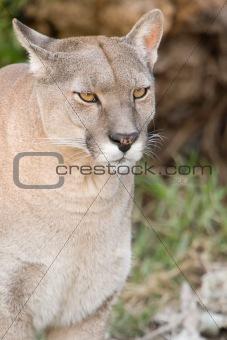 Close up of a puma.