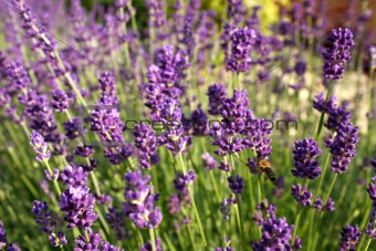 Beautiful purple blooming lavender
