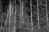 Graphic Pine