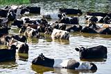 cows on watering place on river